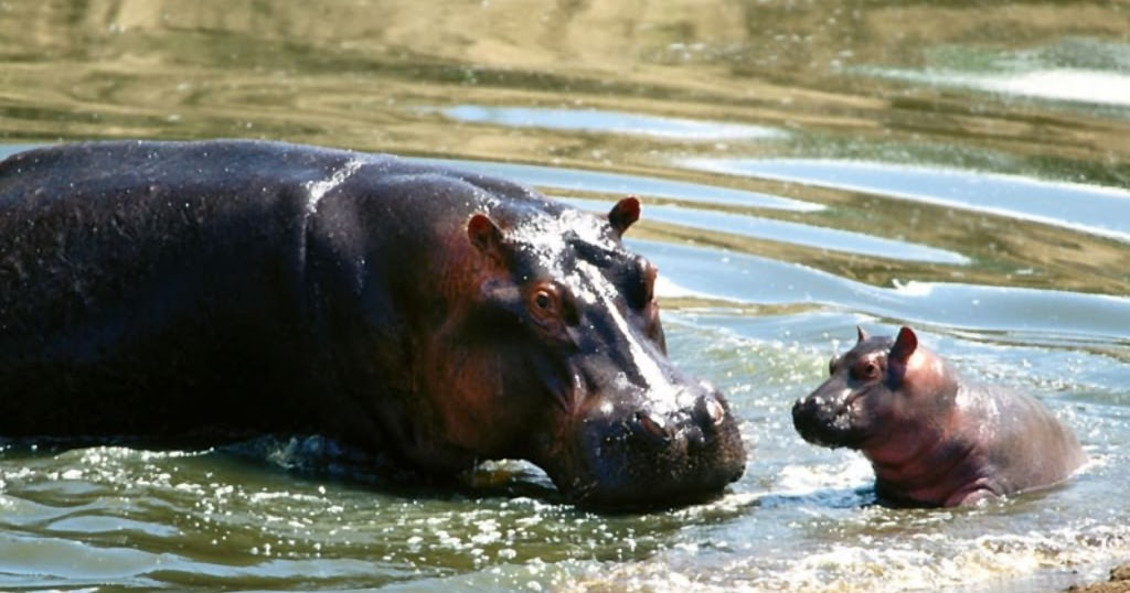 animal hippo wallpaper 1600x1200 - photo #28