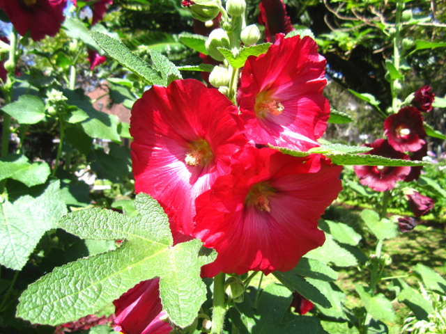 Mallow red flower Madeira