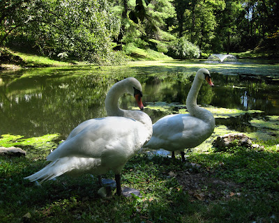 two white swans on the bank near a pond at cave hill cemetary with green trees along the bank in the back ground