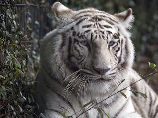 Fakta unik mengenai harimau putih