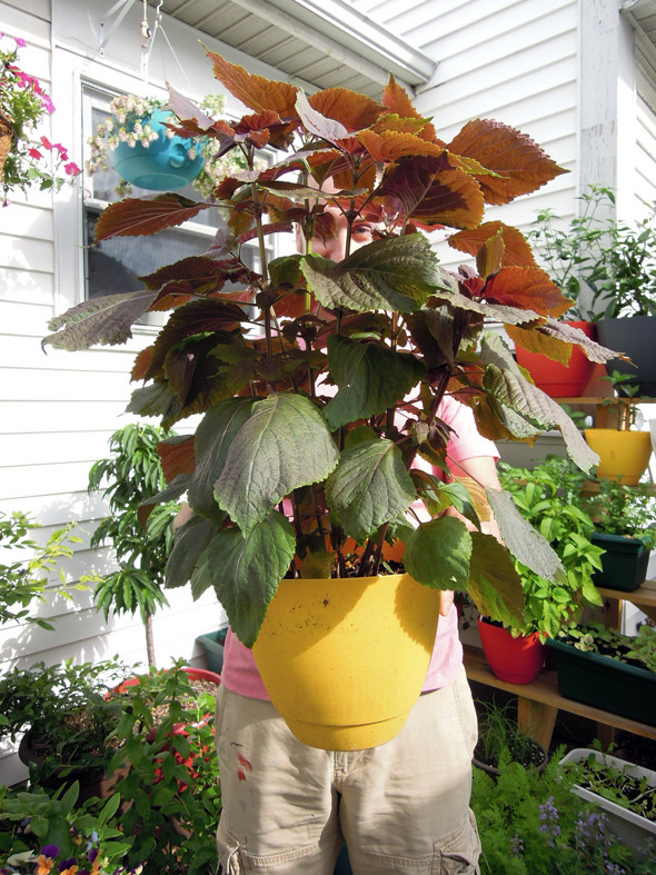 container gardening shiso