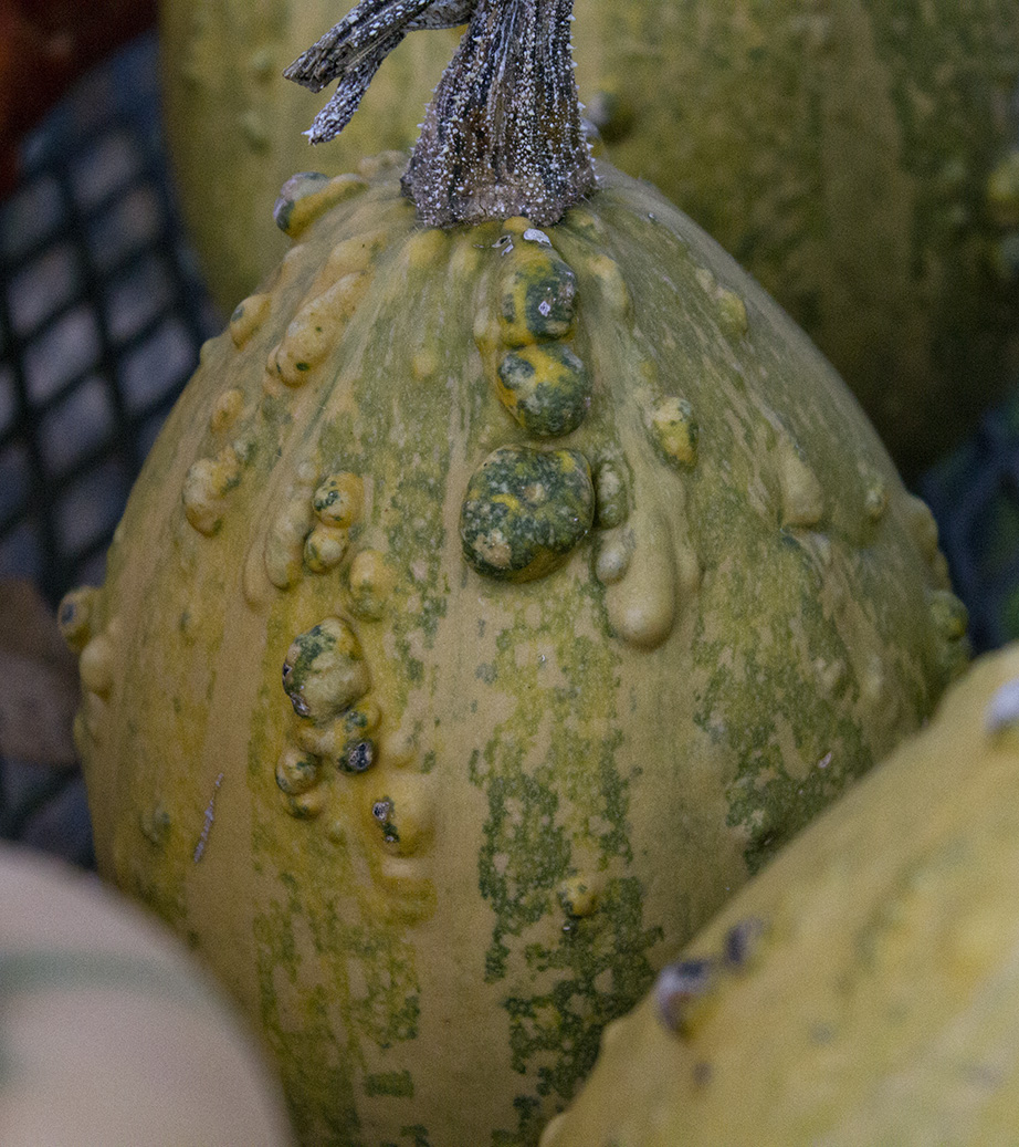 how to tell when squash is ripe