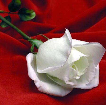 Kultr n el significado de las rosas por su color - Significado rosas blancas ...