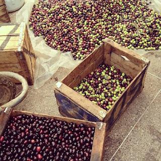 Récoltes olives aux Deux Tours