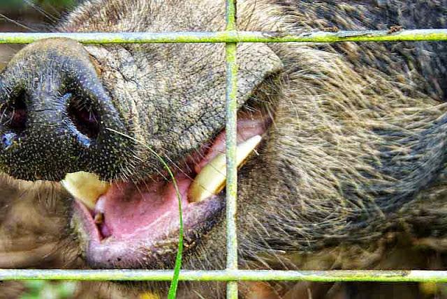 captive, wild boar