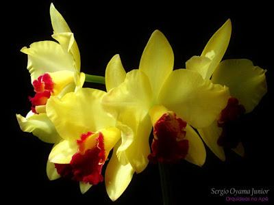 Flores da mini-orquídea Slc. Golden Acclaim 'Richella'