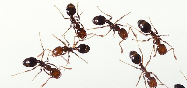 Formicidos, hormigas