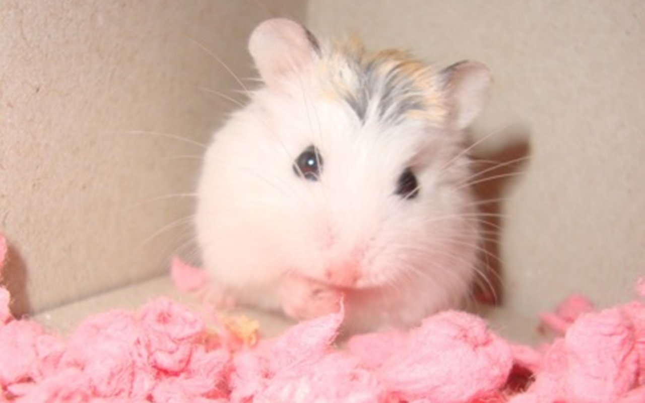 beauty pink hamster wallpaper wallpaper me