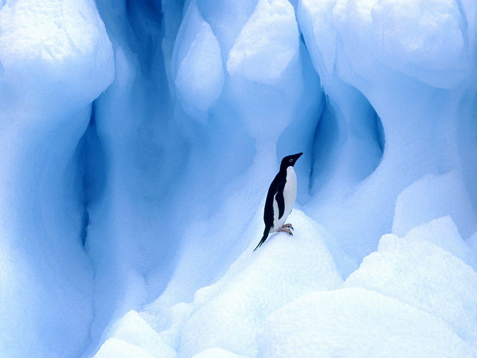 http://1.bp.blogspot.com/-eE8uvOd7EGg/T_5OT0d7EgI/AAAAAAAAGS8/TzS0aUkafmY/s1600/penguin+wallpaper+hd-1.jpg