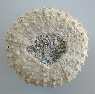 Fossils Sea Urchin Echinoid