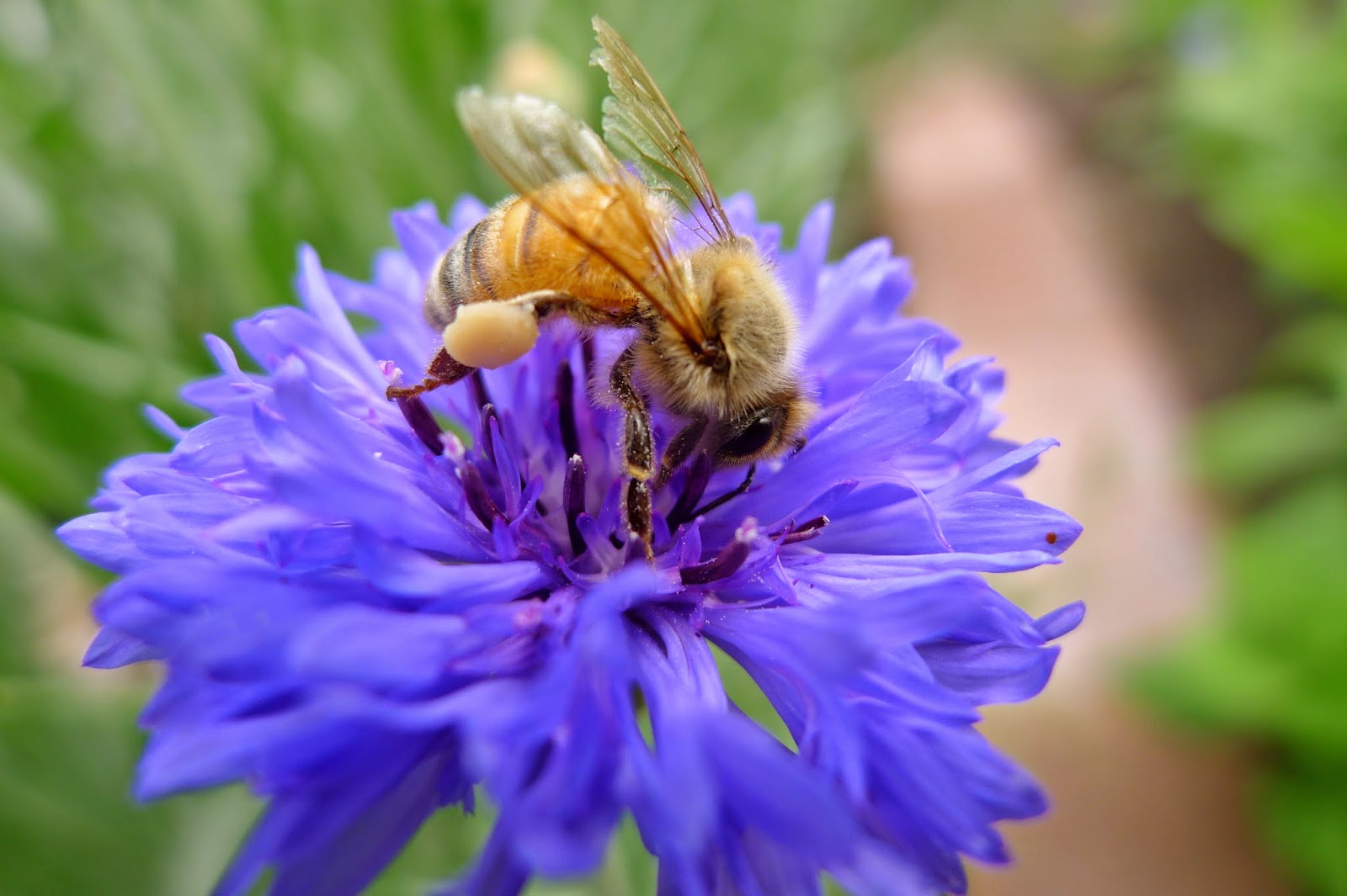 Honey Bee, bees, pollinators, urban farming