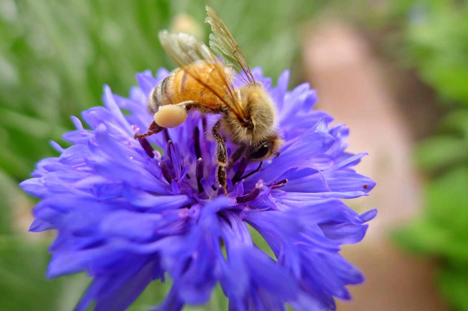 Honey Bee, bees, pollinators, urban farming