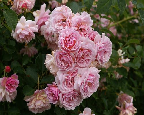 Tra orto e giardino la rosa moschata - Rose coltivazione in giardino ...