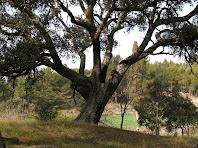 Una altra de les grans alzines del Pinell del Bosc