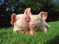 Sweet Pig Puzzle