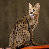 Top 10 loài mèo đắt nhất hành tinh