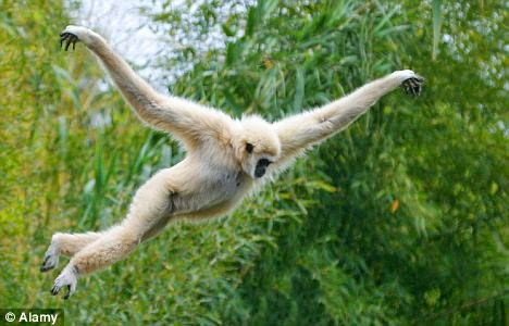 Gibbon Walking Upright