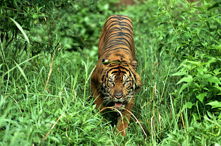 gambar macan