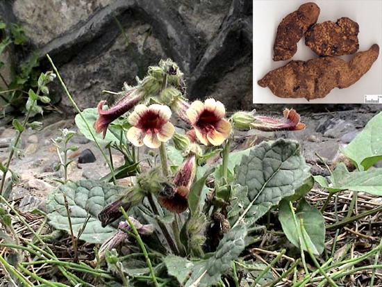 Rehmannia gultinosa (Gaertn.) Libosch. (Fam. Scrophulariaceae)