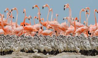 Kumpulan Foto Burung Flamingo dengan Anaknya