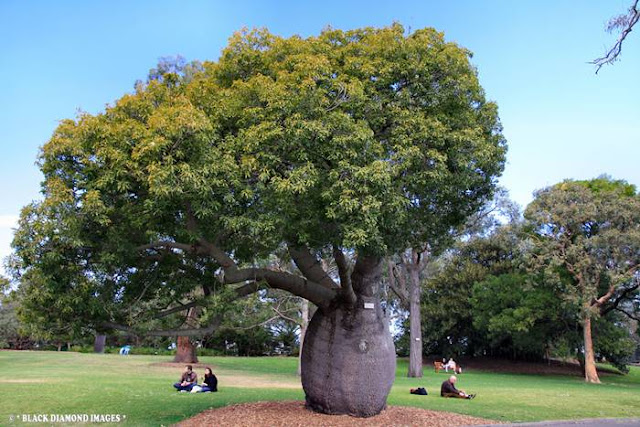 Queensland Bottle Tree - Brachychiton Rupestris