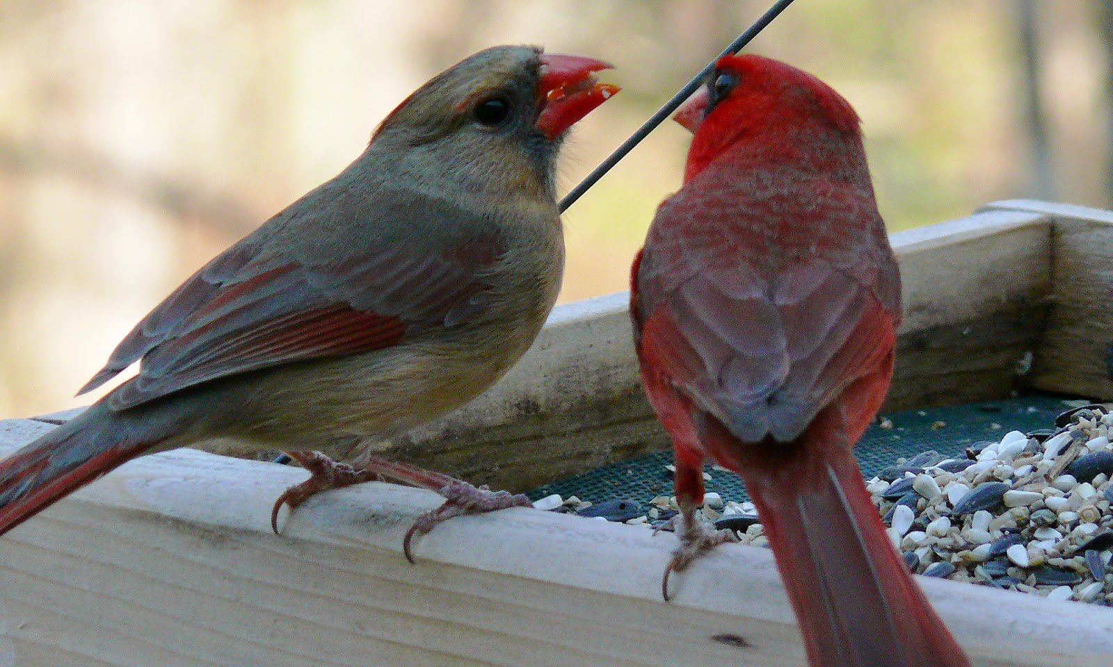 World bird sanctuary birdlore northern cardinal the romantic bird the male cardinal shares seed with the female in order to bond with his prospective mate buycottarizona Images