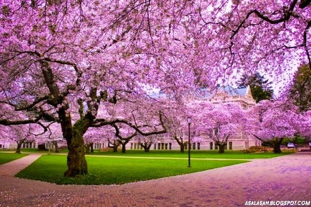http://asalasah.blogspot.com/2014/11/bunga-tabebuya-bunga-sakura-versi-indonesia.html