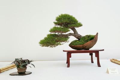 Bonsai de pino en kurama