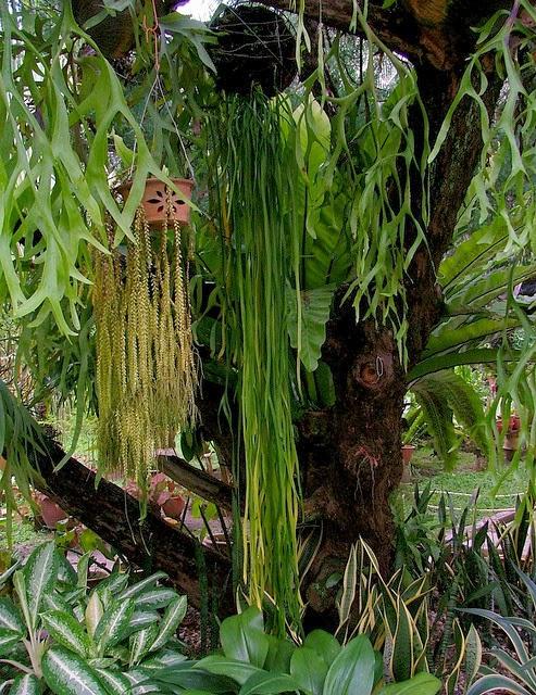 das florestas tropicais da ásia essa rara samambaia pode chegar a
