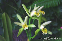 Cattleya mooreana