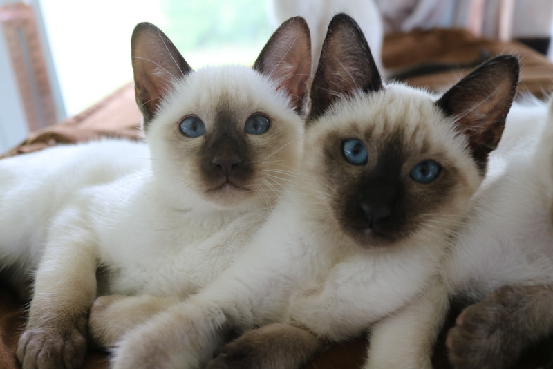 Mitzi's male  Siamese kittens , chocolate and  seal .