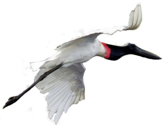 Tuiuiú voando -  É um espetáculo ver uma ave de tão grande porte batendo asas em voo