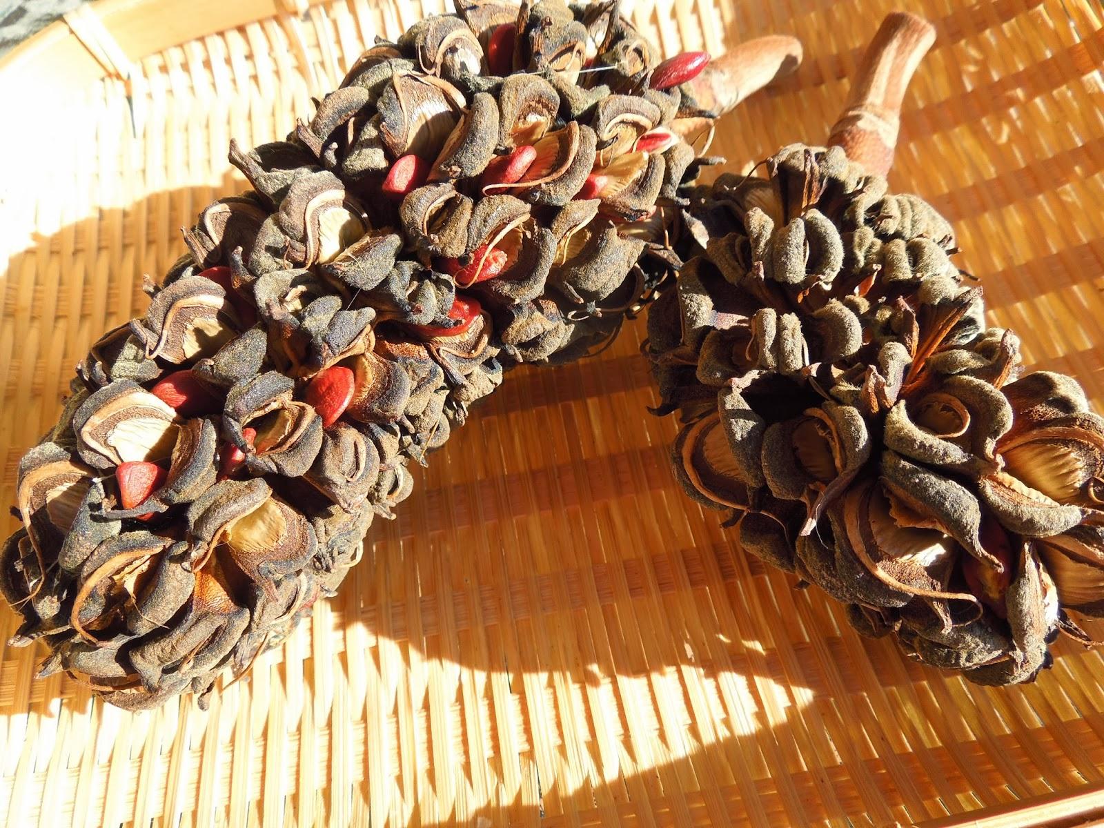 semillas de magnolio y de palmera bot nic serrat