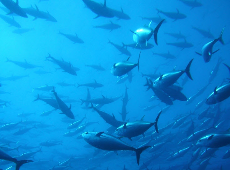 atlantic bluefin tuna We've been able to follow what pacific bluefin tuna do in the open sea and  record their feeding and meal size, every day for up to three years,.