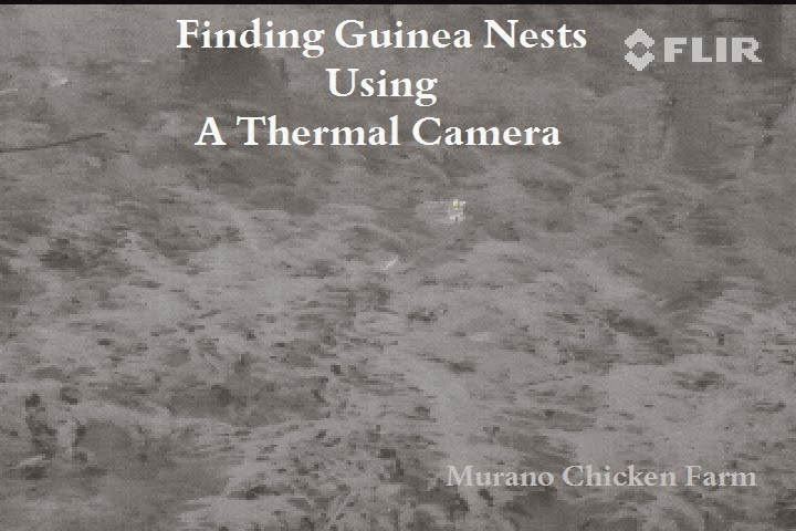 how to find guinea nests