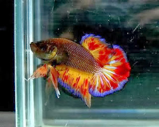 gambar ikan cupang aduan