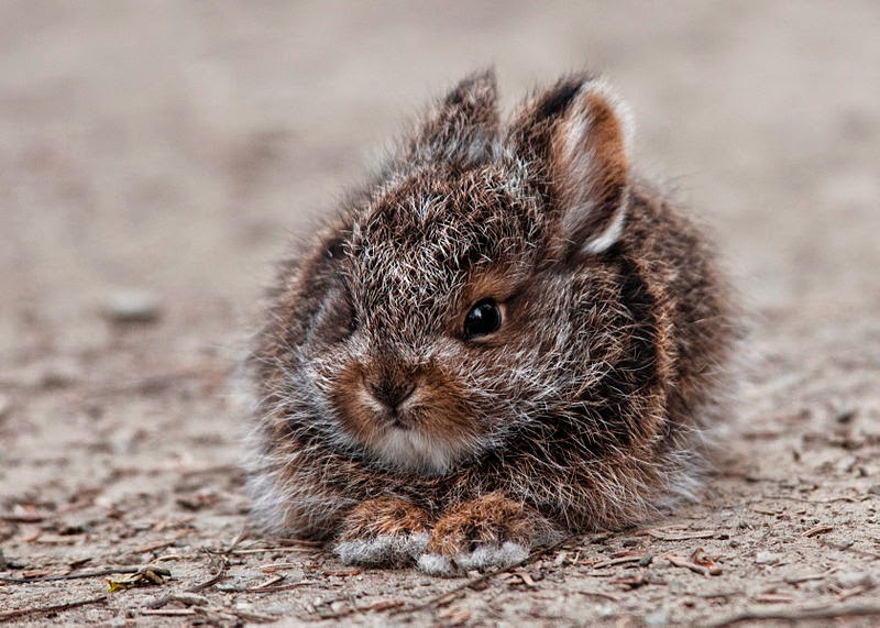 baby snowshoe hare