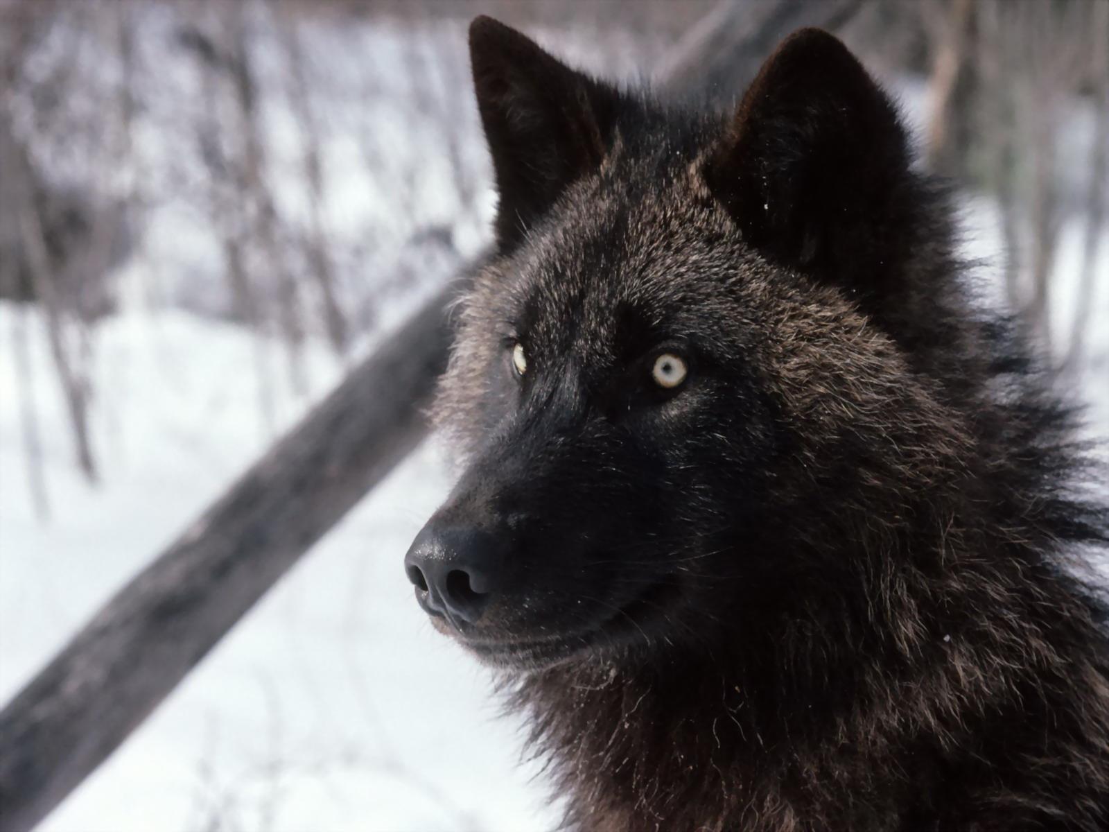 foto serigala putih - gambar hewan - foto serigala putih