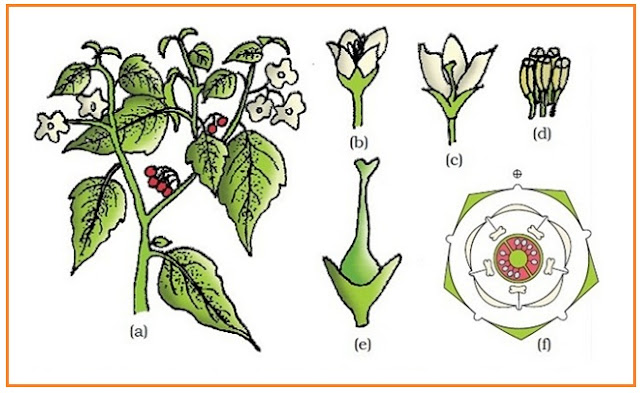 Morfologi organ tumbuhan dunia pendidik tumbuhan solanum nigrum ranti atau leunca a ranting perbungaan b bunga cls bunga d benang sari e carpel f diagram bunga ccuart Gallery