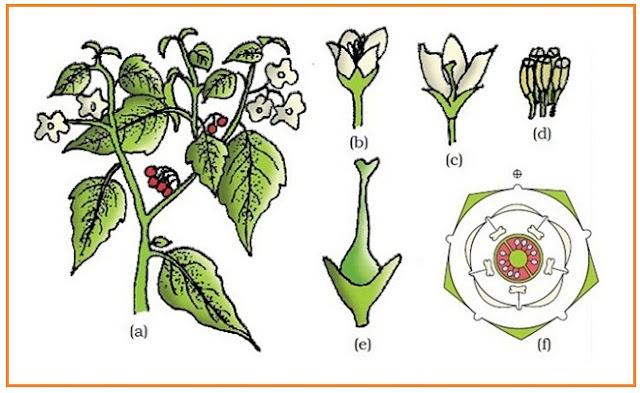 Morfologi organ tumbuhan dunia pendidik tumbuhan solanum nigrum ranti atau leunca a ranting perbungaan b bunga cls bunga d benang sari e carpel f diagram bunga ccuart Images
