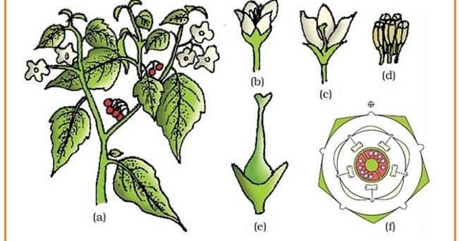 Bagian bagian bunga rumus bunga dan diagram bunga hey its me sofia ccuart Gallery