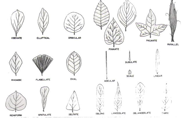 agar dapat dipahami secara lebih jelas macam macam bentuk daun jika ...