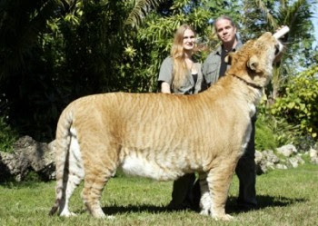 Biggest House Cat In The World 2013