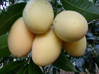 มะยงชิดลูกดก สวยๆในสวน