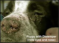 Canine Distemper trên chó con