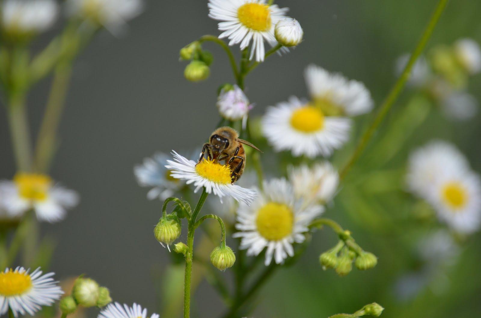 ape camomilla un ape intenta ad accaparrarsi il polline della ...