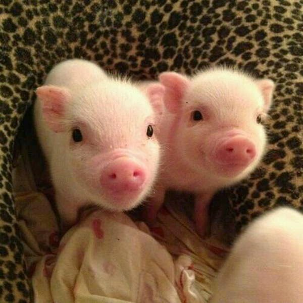 Funny animals of the week - 21 March 2014 (40 pics), funny animal pictures, two cute mini pigs