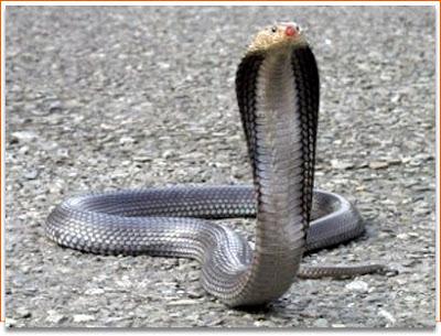 日本男子 最長眼鏡蛇