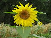 Join TallaHappy Sunflowers