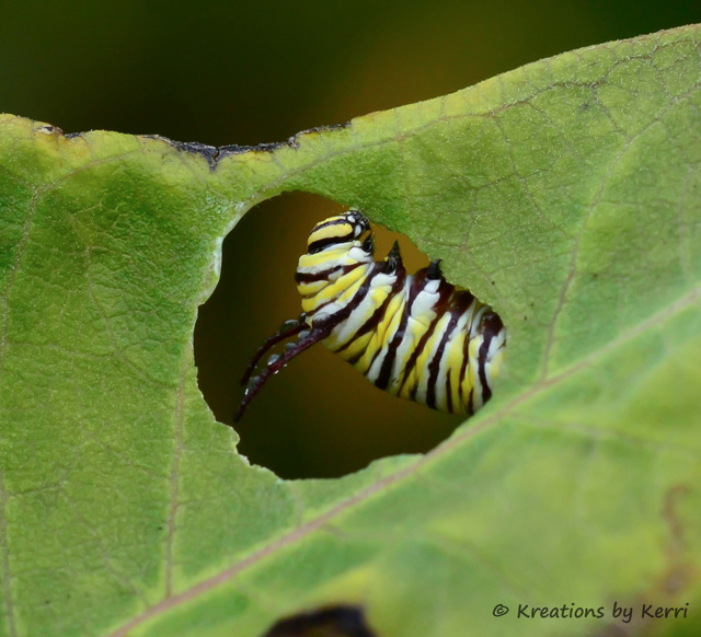 Monarch Caterpillar - Seen through the Leaf